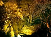 滝と桜とライトアップ - 金沢犀川温泉 川端の湯宿「滝亭」BLOG