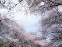 サクラ 2017 善福寺川 その2 - 幡ヶ谷写真部 ~幡ヶ谷司法書士事務所の写真ブログ~