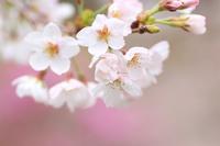 ふんわり桜♪ - happy-cafe*vol.2