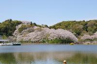蓮華寺池公園の桜・1♪ - happy-cafe*vol.2