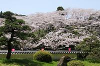 蓮華寺池公園の桜・2♪ - happy-cafe*vol.2