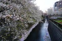 中目黒、目黒川の桜、散り行く姿もよし~♪ - Let's Enjoy Everyday!
