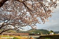 一年越しの桜に想う~SLやまぐち号~ - 蒸気をおいかけて・・・少年のように