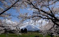 桜と伯耆大山 - アオイソラ