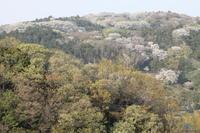 台峯から撮った「すごい桜」=「北鎌倉千本桜」(4・14) - 北鎌倉湧水ネットワーク