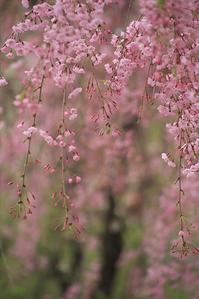 しだれ桜の咲く公園#1 - Bamboobooのひとりごと