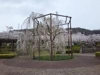 I was able to look at a cherry tree this year! - poompoom blog