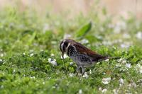桜の下で食事中のツグミ - T/Hの野鳥写真-Ⅱ