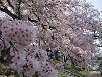 桜☆満開です! - akieの編物教室奮戦記