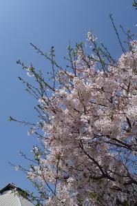 **青空と桜** - 毎日てくてくまりちゃん