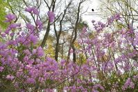 ミツバツツジ - お花びより