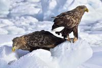 """オジロワシ(尾白鷲)/White-tailed eagle - 「生き物たちに乾杯」 第3巻 """"A Toast to Wildlife!"""" vol. 3"""