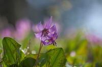 春の妖精 カタクリ - tokoのblog