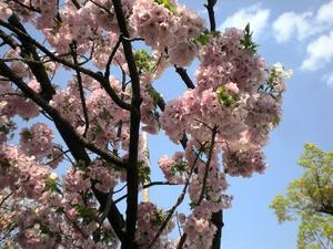 春の桜 - 女将の部屋