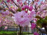 今年関西の桜は変則でした~ 造幣局通り抜けてきました - 猫空くみょん食う寝る遊ぶ Part2