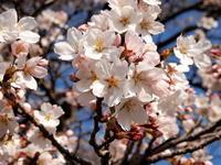 ようやく桜が(^.^) - 自然の中でⅡ