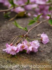 まだまだ桜(goodbye pink sakura road) - serendipity blog