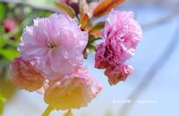 サクラ・さくら・桜 - 花々の記憶