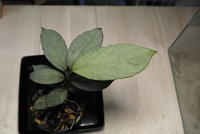 Aglaonema nebulosum 'Apple-leaf' - PlantsCade -2nd effort