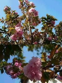 八重桜  - グリママの花日記