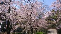 お花見も今週で終わりかな@夙川河川敷公園 - スカパラ@神戸 美味しい関西 メチャエエで!!