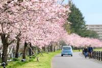小山市の桜・思川桜 - PhotoWalker*