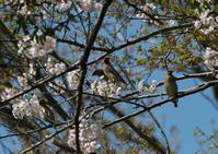 ヒレンジャク - クマさんの2人で鳥撮り