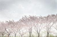 散り逝く刑務所の桜 - Soul Eyes