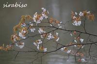 山桜 - 小さな森の写真館 (a small forest story)