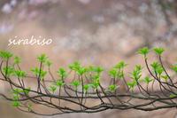 芽吹き - 小さな森の写真館 (a small forest story)