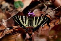 スプリングエフェメラル その3 - 紀州里山の蝶たち