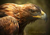 イヌワシ:Golden eagle - 動物園の住人たち写真展