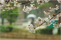 '17 桜*Ⅰ -雨の日- - It's only photo