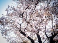 さよなら桜 - 空を見上げて