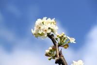 梨の花~♪。 - 青い海と空を追いかけて。
