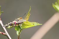 初撮りのギフチョウ - 見沼の私記Ⅱ