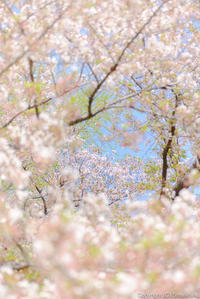 春色の移り - ひつじ雲日記