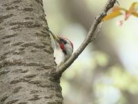 桜散る里山 - TACOSの野鳥日記