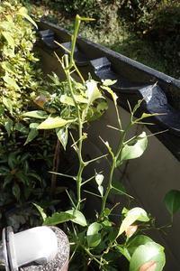 春待ち蛹 クロアゲハその後 - おらんくの自然満喫