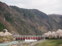 ダムの桜が満開でした - きくまんま