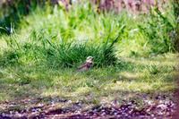 冬鳥と桜 - marimiya 野鳥撮影記録