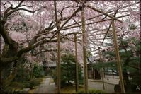 とある一本桜 - Deep Season