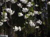 純白の八重のさくら再び - チルターンの風に吹かれてーイギリスの小さな村の小さな庭からー
