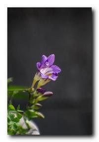 フリージア開花。 - 気まぐれフォト