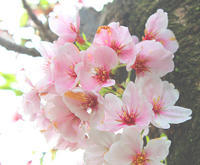 熟桜を知らないなんて人生損している・・・・ - 三恵 poem  art