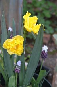 今日の庭 水仙とムスカリ - シェーンの散歩道