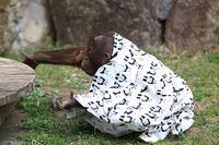 オランウータンは服を着る - 動物園放浪記