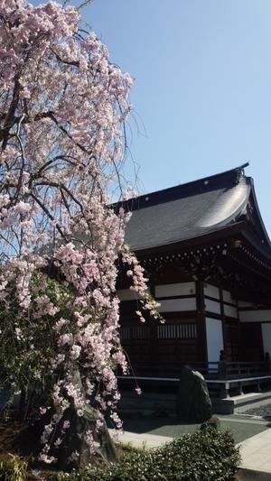 枝垂れ桜七回忌 - アンのように生きる・・・(老育)