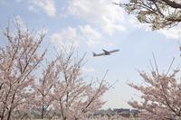 桜、ぐっじょぶ! JAL2087便 - ヒコーキ撮り☆