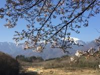 桜、咲き始めから 一気に加速・・まもなく満開? - オーガニックな日々